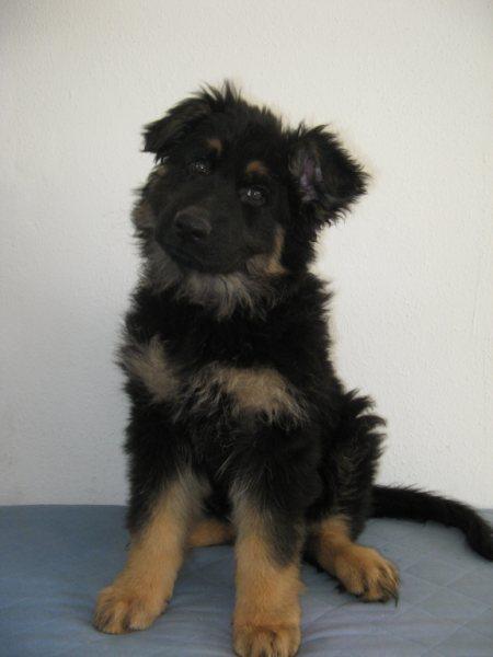 foto van oudduitse herder pup