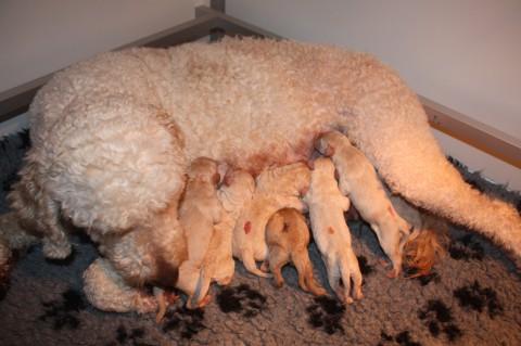 en dan gaat het rustig verder van 1 naar 7 pupjes