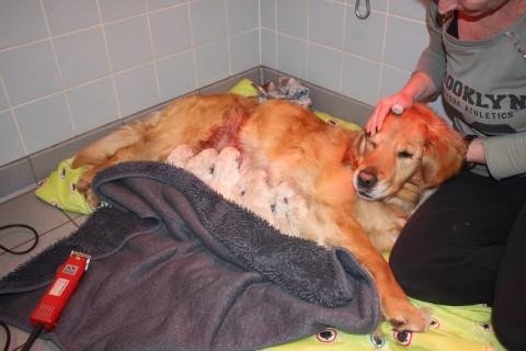 babet nog bij de arts, half onder narcose bij haar pupjes ben zo blij dat we deze foto nog hebben