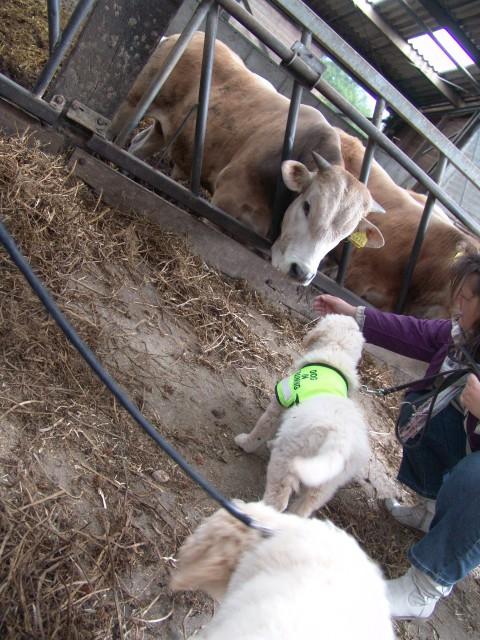 training bij de kemphaan, stichting aap en de koeien in de stal