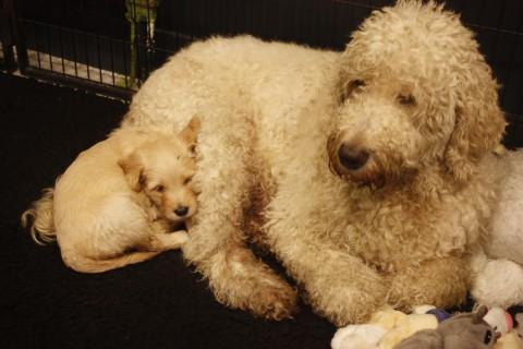 pups nola 5 weken oud