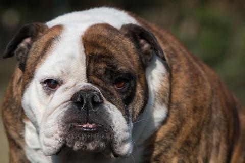 ja en dan onze Babe de clown van het hele stel, de Engelse Bulldog