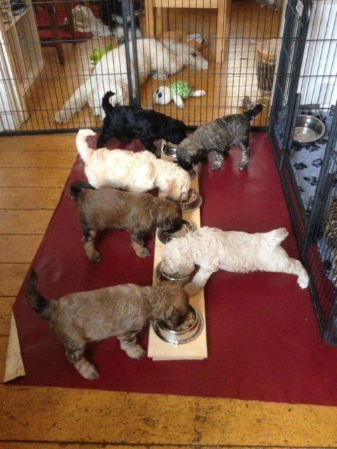 pups-mandy-5-weken